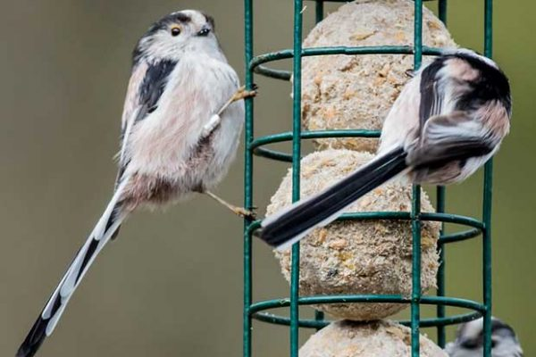 Long-Tailed Tits At Feeder