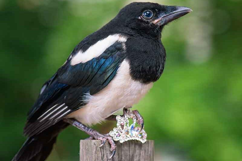 Magpie With Jewellery