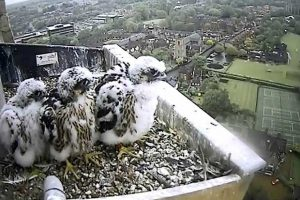 Norwich Peregrines
