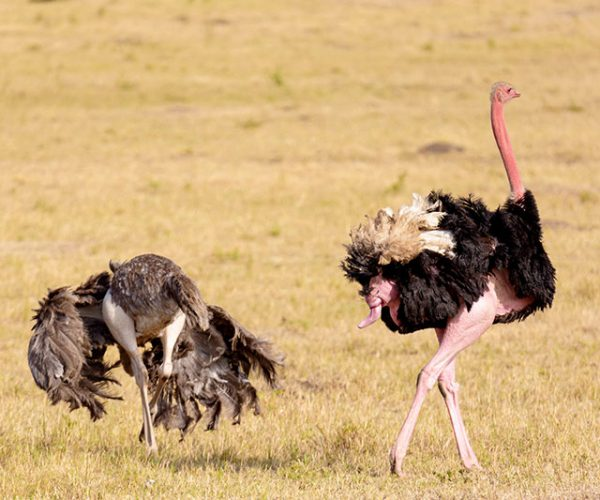 Ostriches With Male Showing His Penis