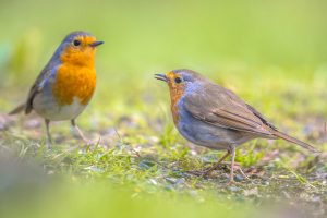 A Pair Of Robins