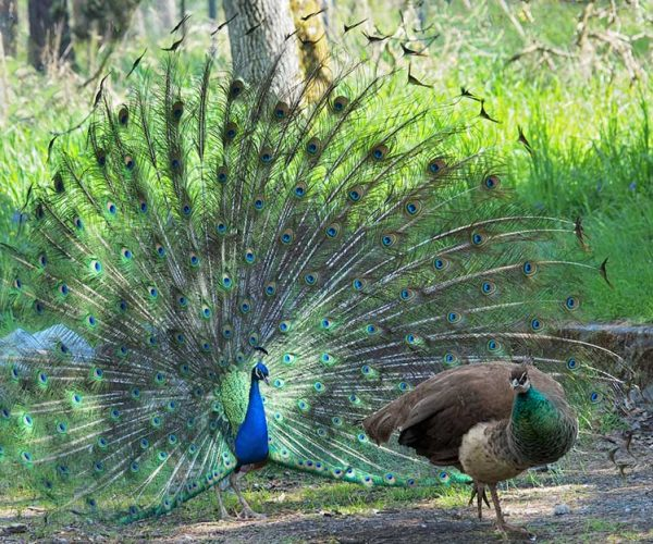 Peahen And Peacock Displaying