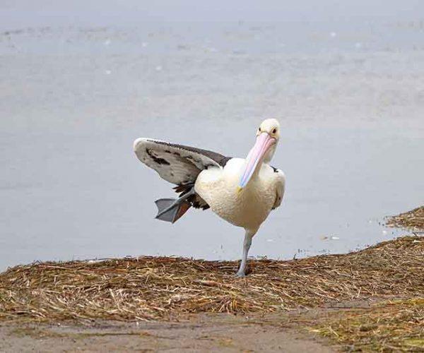 Pelican Lifting A Leg
