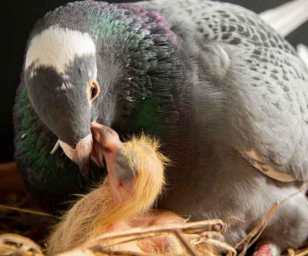 Pigeon Squab