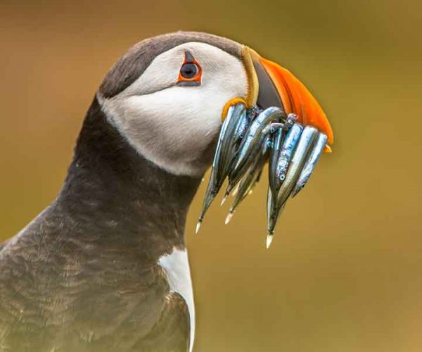 Puffin With Fish In Its Bill