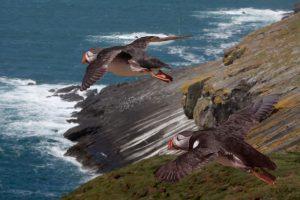 Puffins Skomer Island