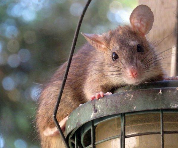 Rat On A Bird Feeder