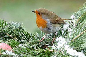 Robin On A Snowy Branch