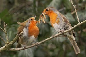 Robin Courtship