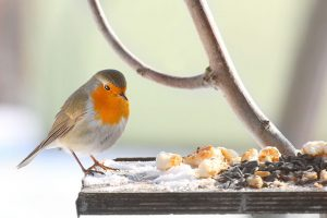 Robin Eating Kitchen Scraps