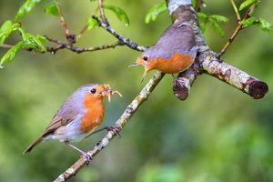 Robins With Mealworms