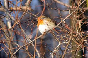 Robin In Shrub