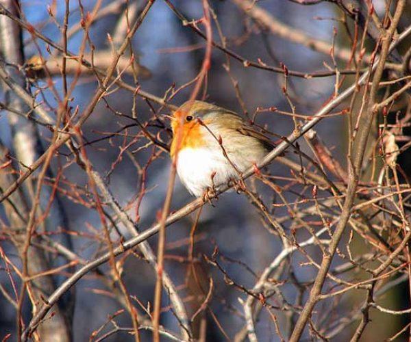 Robin In Shrub