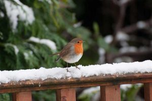 Robin On A Snowy Fence