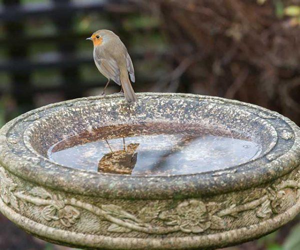 Robin On A Stone Bird Bath