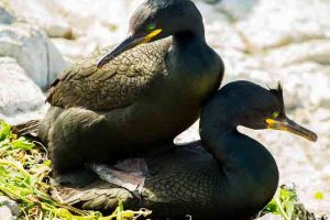 Shags Mating
