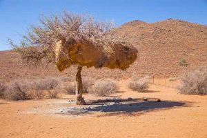 Sociable Weavers' Nest