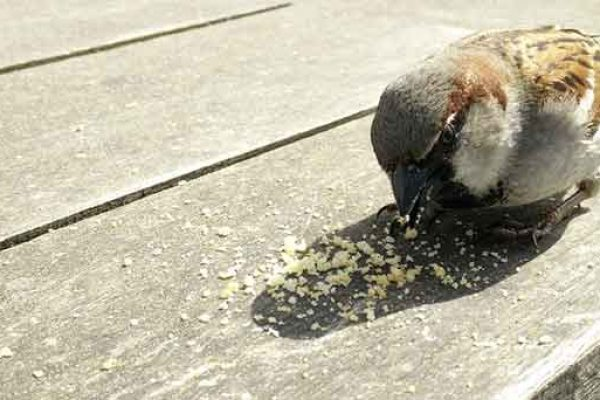 Sparrow Eating Breadcrumbs