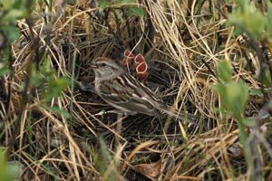 Tree Sparrow Nest