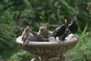 Sparrows On A Bird Bath