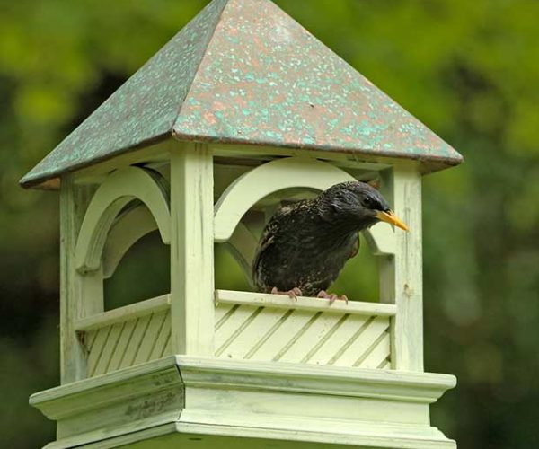 Starling On Bird Table