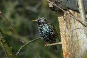 Starling By Nest Box