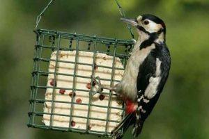 Woodpecker Eating Suet