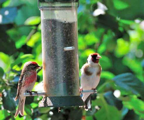 Lesser Redpoll And Goldfinch Feeding