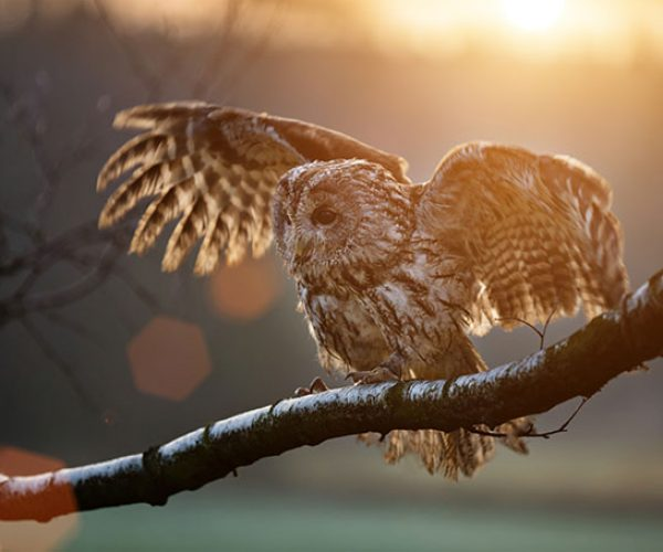 Tawny Owl At Sunset