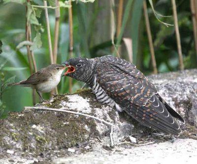 Warbler Feeding A Cuckoo Chick