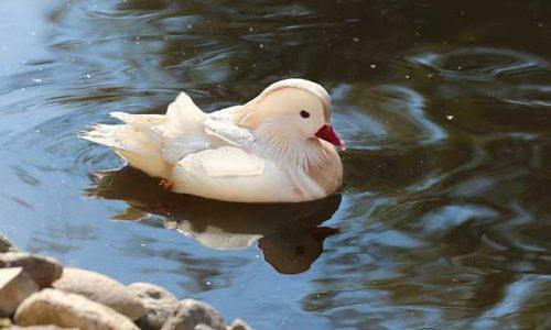 White Mandarin Duck